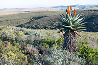 Aloe ferox plant in flower in the Renosterveld scrublands, Renosterveld, Western Cape, South Africa