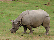 A Rhinoceros at the San Diego Zoo Wild Animal Park
