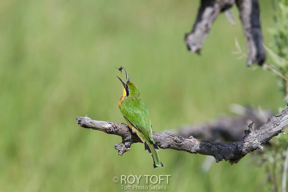 A little bee-eater bird in the process of catching a flying insect, Botswana, Africa