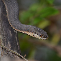 Black Snake at Raccoon Creek State Park