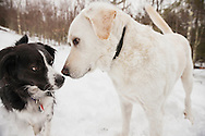 Closeup of two dogs greeting nose to nose