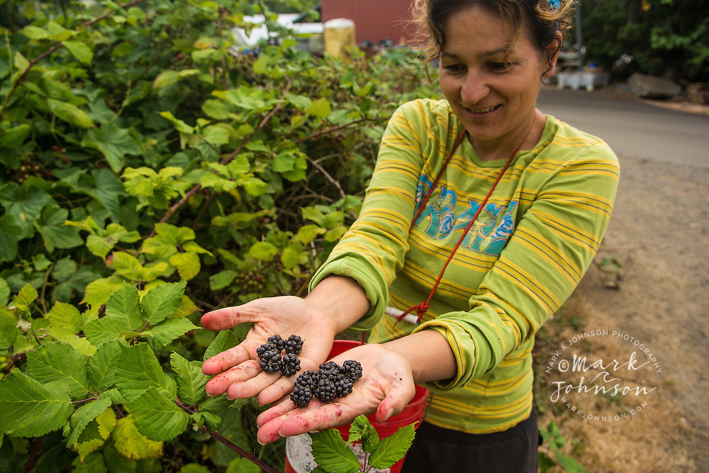 Woman picking blackberries, Astoria, Oregon, USA