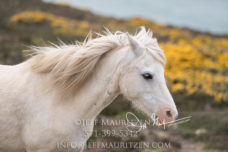 A wild Welsh pony grazes at St. David's Head along the Pembrokeshire Coast National Park in southwest Wales.