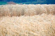 Miscanthus, elephant grass, alternative energy crop grown for fuel, Oxfordshire, United Kingdom