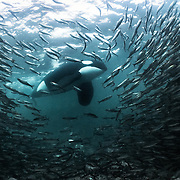 Large adult male killer whale (Orcinus orca) stalking a large school of herring in shallow water.