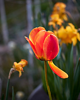 Orange Tulip. Image taken with a Leica CL camera and 60 mm f/2.8 lens (ISO 100, 60 mm, f/3.2, 1/160 sec)