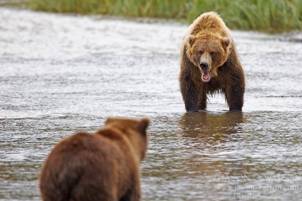 Two North American brown bear /  coastal grizzly bear (Ursus arctos horribilis) sow fight over fishing territory in a creek, Lake Clark National Park, Alaska, United States of America