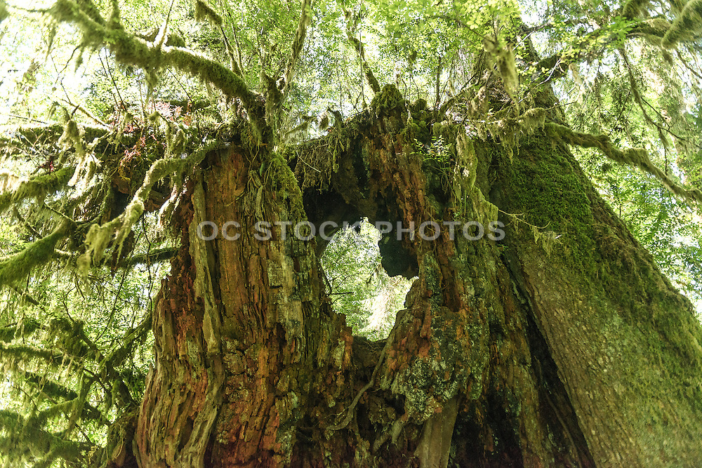 Moss Covered Tree Stump in the Quinault Rain Forest