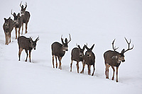 2017 just as a snow storm is letting up a group of Mule Deer make their move across an open field heading for the safety of the hillsides in the mountains of northern Utah.