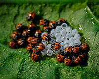 Stinkbug Hatchlings.Image taken with a Fuji X-T3 camera and 80 mm f/2.8 OIS macro lens (ISO 320, 80 mm, f/11, 1/120 sec).