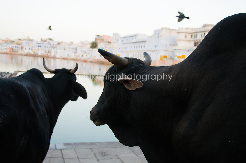 Two black Brahma cows wander around the lake at Pushkar, with birds flying above. By the early centuries AD, the cow was designated as the appropriate gift to the brahmans (high-caste priests) and it was soon said that to kill a cow is equal to killing a brahman. The importance of the pastoral element in the Krishna stories, particularly from the 10th century onward, further reinforced the sanctity of the cow.