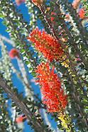 Fouquieriaceae (Ocotillo Family)