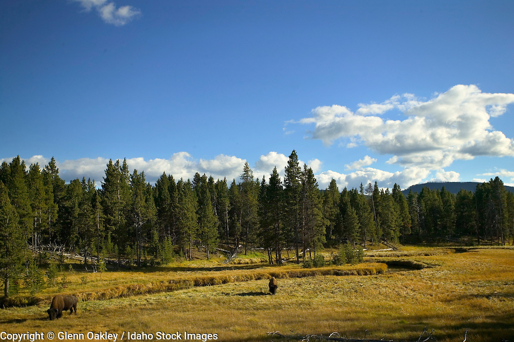 Bison roaming in the wetlands of Yellowstone National Park