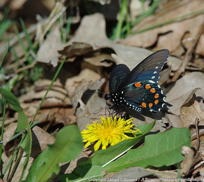 Pipevine Swallowtail near App Trail NC