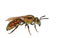 A very coppery colored Sweat Bee (Augochlora pura), Southern Blue Ridge Escarpment, South Carolina, USA