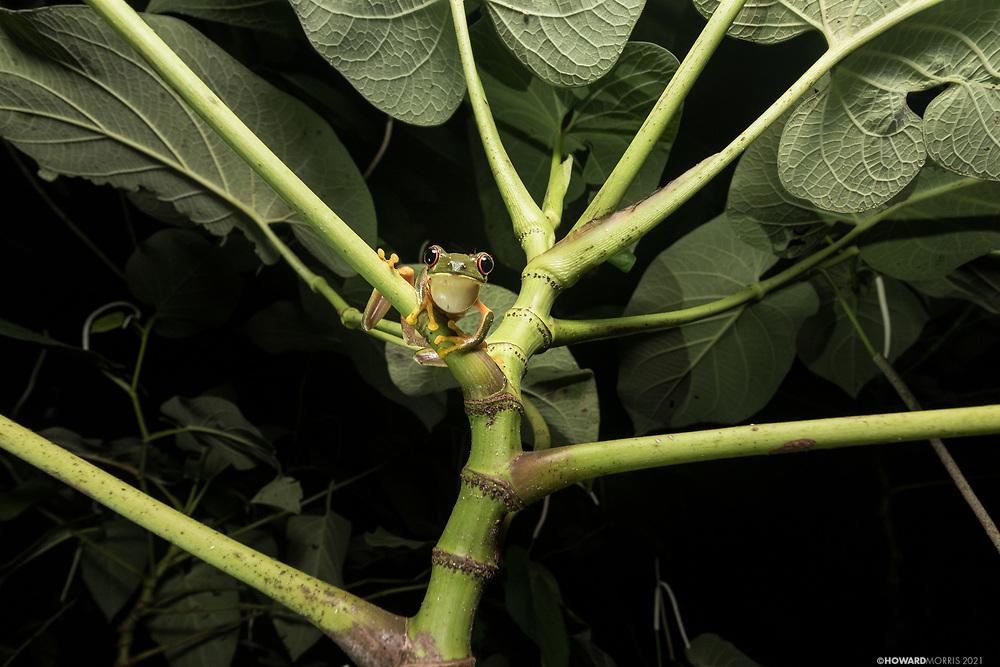 Red-eyed tree frog (Agalychnis callidryas), Black Rock, Bel