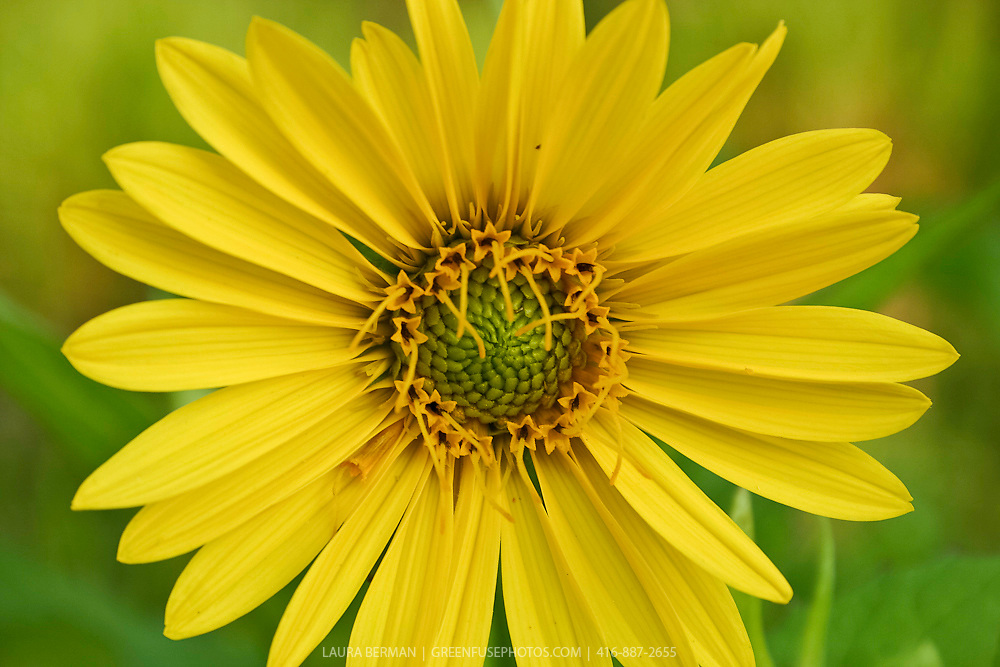Yellow daisy-like flowers of the Cup Plant (Silphium perfoliatum).