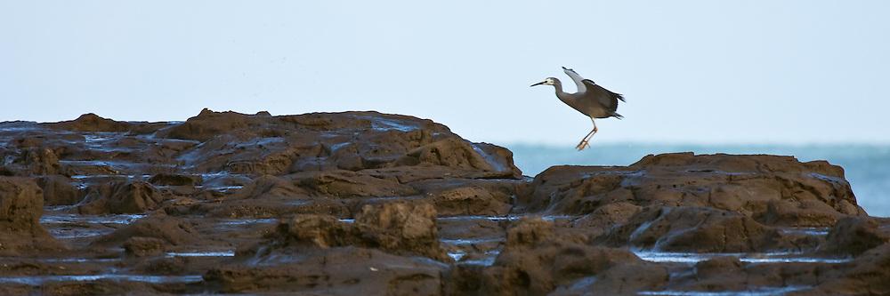 White-faced Heron, Curio Bay, New Zealand