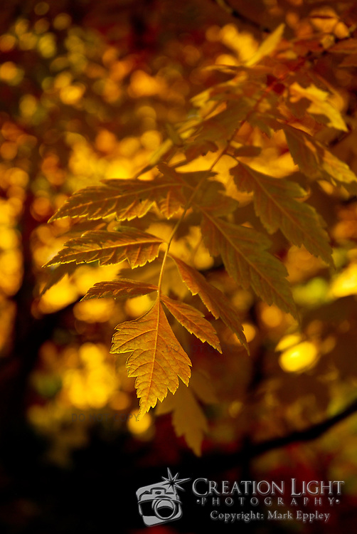 The leaves of this tree have turned a vibrant yellow-orange color. The edges of the leaves and the veins that carry nutrients in the leaves are lit by bright sunlight.