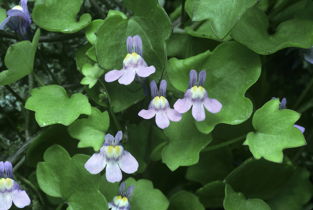 IVY-LEAVED TOADFLAX Cymbalaria muralis (Scrophulariaceae) Trailing. Hairless perennial with trailing, purplish stems. Grows on rocks and walls. FLOWERS are 10-12mm across and lilac with yellow and white at the centre, and a curved spur; borne on long stalks (Apr-Nov). FRUITS are capsules, borne on long stalks that become recurved with maturity, forcing the fruit into nooks and crannies. LEAVES are long-stalked, ivy-shaped, 5-lobed and borne on long stalks. STATUS-Originally a garden plant but now widely naturalised throughout much of the region, except N Scotland.