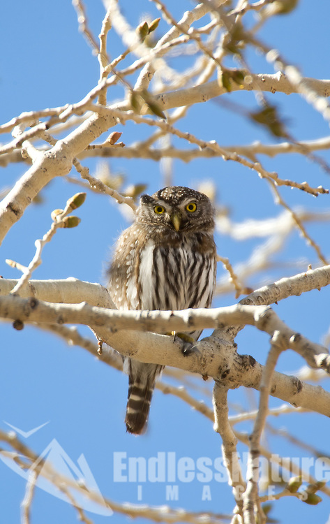 A Northern Pygmy Owl sits in a cottonwood tree in Zions National Park in southern Utah.