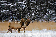 Elk  or wapiti (Cervus canadensis)  in meadow on Minnewanka Road in Banff National Park<br />