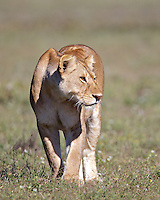 Lioness (Panthera leo) begins a stalk on distant wildebeest, Serengeti