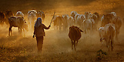 Woman herding cattle in dust at sunrise