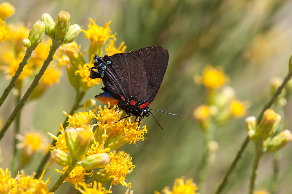 Atlides halesus corcorani (Great Blue Hairstreak) ♂ at Bob's Gap, Los Angeles Co, CA, USA, on California broomsage 19-Aug-17