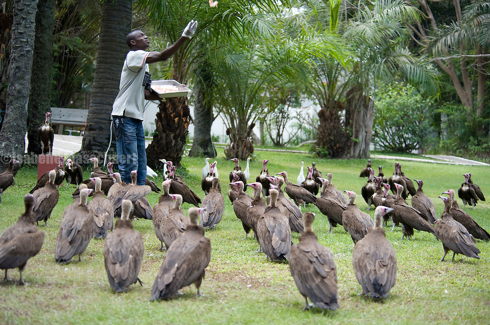 Vultures are put on show at a local hotel. They are being fed raw chicken.
