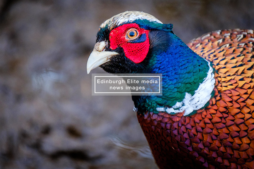 Male pheasant (Phasianus colchicus) in South Lanarkshire, Scotland<br /> <br /> (c) Andrew Wilson | Edinburgh Elite media