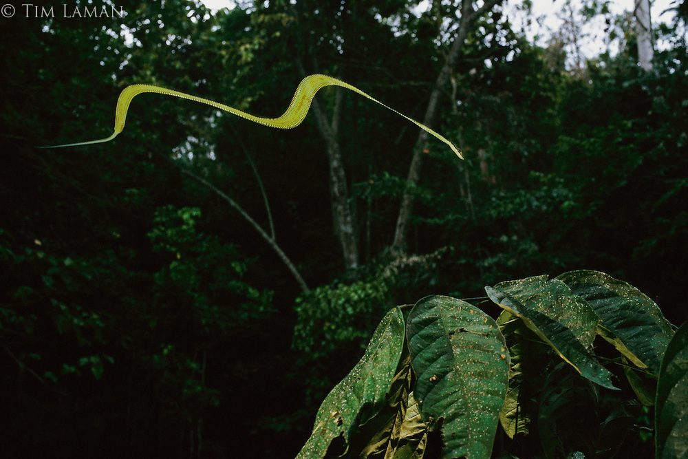 Paradise tree snake (Chrysopelea paradisi) in flight in the rain forest in Borneo.