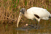 Wood Stork, (Mycteria americana), Arthur R Marshall National Wildlife Reserve - Loxahatchee, Florida, USA   Photo: Peter Llewellyn