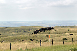 Cattle wonder about the prairie pastures eating the native grasses as they go