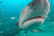 A Lemon Shark, Negaprion brevirostris, swims off with a Jack Crevalle, Caranx hippos, during a baited dive in Federal waters offshore Jupiter, Florida, United States. Image available as a premium quality aluminum print ready to hang.