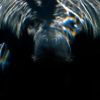 Water ripples reflect on the visage of Buffett, a 19-year-old, 1800lb. manatee, as he coasts through a shaft of light in his living facility at Mote Marine Laboratory in Sarasota, Fla., on Wednesday, August 23, 2006.  (PHOTO/CHIP LITHERLAND)