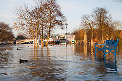© Licensed to London News Pictures. 12/01/2014. Reading, Berkshire, UK. A Coot swims through flood water at Christchurch Meadows along the Thames Path in Reading, Berkshire. The River Thames has broken its banks causing extensive flooding. Photo credit : Rob Arnold/LNP