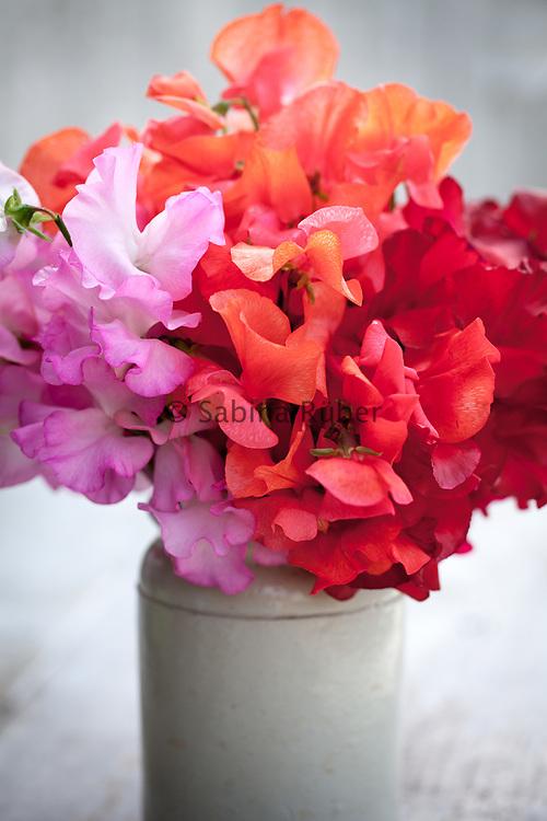 Lathyrus odoratus 'Gwendoline', 'Prince of Orange' and 'Henry Thomas' - sweet pea arrangement in small earthenware jar