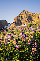 Lupine wildflowers bloom in the upper basin below Mt. Timpangos peak on a warm Summer morning.