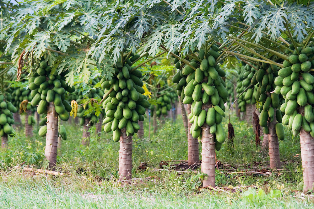Papaya fruit (Carica papaya) growing in a plantation near Tha Ton, Chiang Mai Province, Thailand