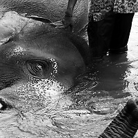 PINNEWELA-OCTOBER3: a mahout washes his elephant inthe Ma Oya river.PINNAWELA, OCTOBER-3 : an elephant greets a visitor   in Pinnawela, October 3, 2005, Sri Lanka.   .The Pinnawela orphanage was started in 1975 and initially designed to afford care and protection to the many baby elephants found in the jungle without their mothers. In most cases the mother either had died or been killed. .Animals are allowed to roam freely duringthe day and a herd structure allows to form. there are only a few elephant orphanges worldwide. At Pinnawela an attempt was made to simulate, in a limited way, the conditions in the wild. Currently the herd consists of 75 elephants under the surveillance of legendary  Mahout chief Sumanabanda.