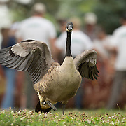 A freshly banded Canada goose runs back to the lake after a group of volunteers, led by members of the Kentucky Department of Fish and Wildlife Resources, corralled and banded a group of geese at Jacobson Park in Lexington, Ky., on Tuesday July 1, 2014. Around 475 geese were banded at the park and at a farm in Fayette County as part of a population study. Under the direction of the Department of Fish and Wildlife, each year at this time in various locations around the state, when the geese are molting and unable to fly, they are rounded up, banded, their genders identified and quickly released. Photo by David Stephenson