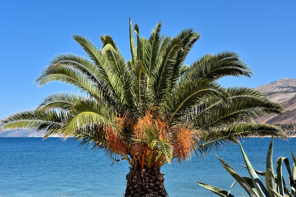 Palm Tree with Orange Fruit in Argostoli, Greece <br /> Several of Argostoli&rsquo;s streets, promenades and squares are lined with palm trees like this one. I learned many of them were planted by Italian troops during their brief occupation in World War II. Other accounts suggest some trees are over 100 years old. I believe this palm may be a Phoenix theophrasti.  If so, the species originated in Crete which is why it is sometimes called the Cretan date palm. Their orange fruit is attractive but inedible.