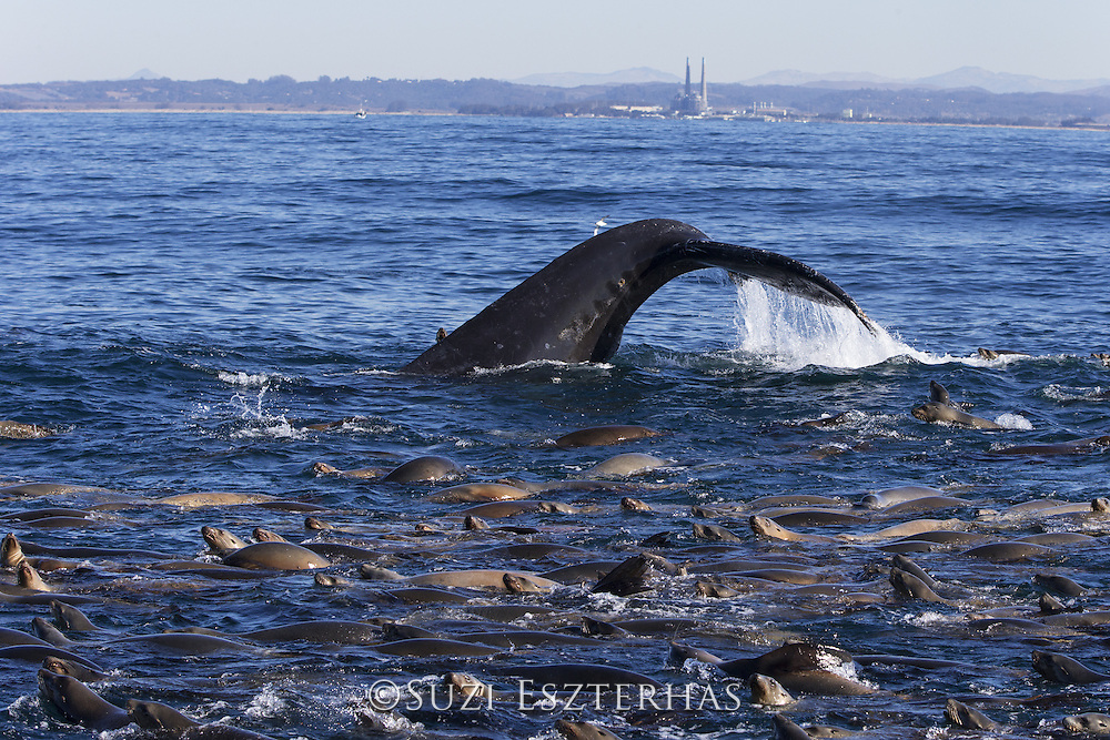 Humpback Whale<br /> Diving while feeding on anchovy with California sea lions (Zalophus californianus)<br /> Monterey Bay, California
