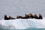 Sea otters gather on an ice floe near Valdez, Alaska.