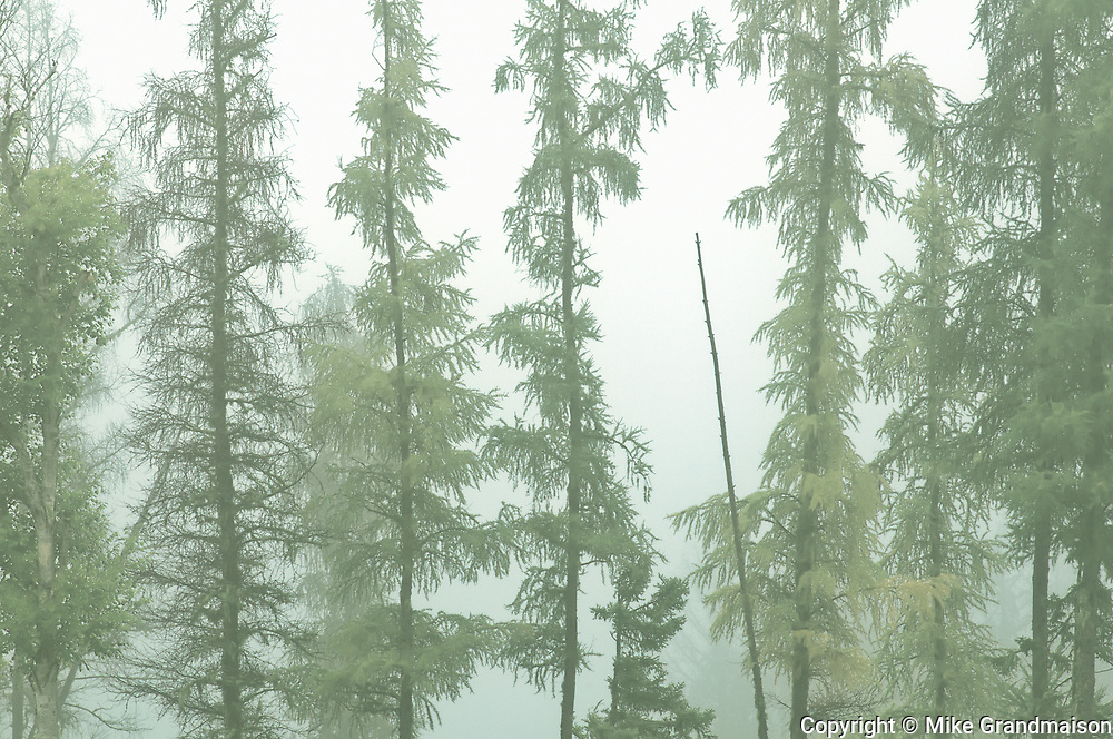 Trees in boreal forest in fog<br /> <br /> Ontario<br /> Canada