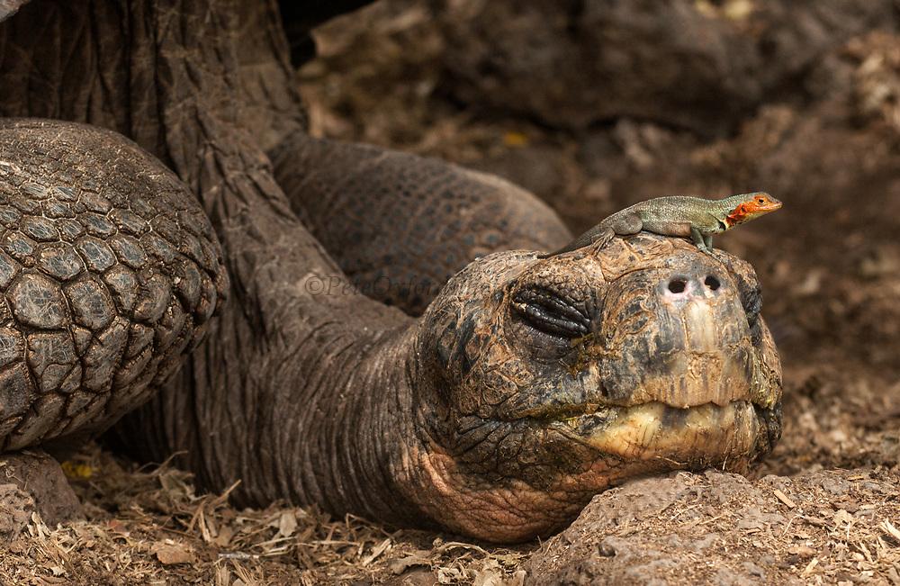 Galapagos Giant Tortoise resting &amp; Lava Lizard<br /> Geochelone elephantophus<br /> Darwin Research Station<br /> Santa Cruz Island<br /> Galapagos Islands<br /> ECUADOR.  South America