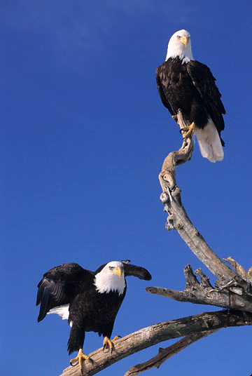 Bald Eagle, (Haliaeetus leucocephalus) Pair of adults. Alaska.