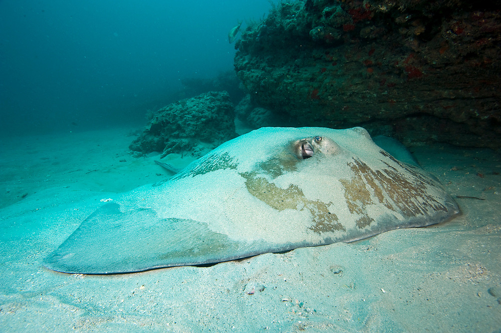 A Rough-tail Stingray, Dasyatis centroura,  lies covered with sand near a coral reef in Jupiter, Florida, United States.
