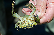 Ventral view of female Green Crab, showing abdomen